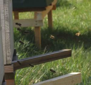 Bienen im Flug
